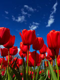 Red tulips on flowerbed Stock Image