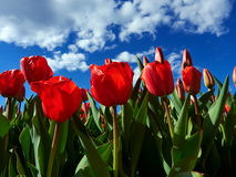 Red tulips on flowerbed Royalty Free Stock Image