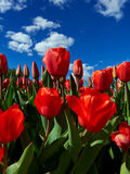 Red tulips on flowerbed Stock Photos
