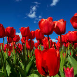 Red tulips on flowerbed Stock Photography