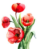 Red Tulips flowers. Watercolor illustration Stock Photos