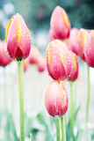 Red tulips flowers Stock Photography