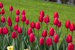 Red tulips flowers blooming in a garden Stock Images