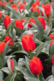 Red tulips flowers blooming in a garden. Royalty Free Stock Images