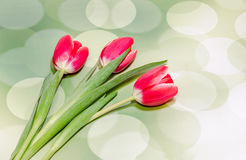 Red tulips flowers, green bokeh gradient background, close up Royalty Free Stock Image