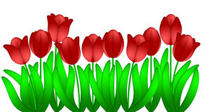 Red Tulips Flowers Isolated White Background Stock Images