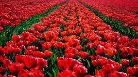 Red tulips flowers landscape in Netherlands , spring time flowers in Keukenhof. Red tulips flowers landscape  in Netherlands  , spring time flowers in Keukenhof royalty free stock photography