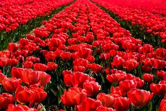 Red tulips flowers field close up in Holland , spring time flowers in Keukenhof. Red tulips flowers landscape up in Holland , spring time flowers in Keukenhof royalty free stock image