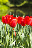 Red tulips flowers Stock Photos