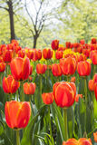Red tulips flowers Stock Image