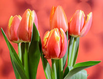 Red tulips flowers, red bokeh gradient background, close up Royalty Free Stock Image