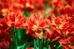 Red Tulips Flowers In Spring Garden Flower Bed Stock Image