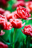 Red Tulips Flowers In Spring Garden Flower Bed Stock Images