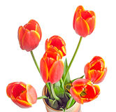 Red tulips flowers with yellow stripes, colored flowerpot, vase, Royalty Free Stock Image