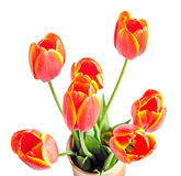 Red tulips flowers with yellow stripes, colored flowerpot, vase, Royalty Free Stock Photos