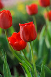 Red tulips in full bloom in the spring Stock Image