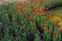 Red tulips in full bloom in the spring Royalty Free Stock Image