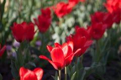 Red tulips in the garden stock photos