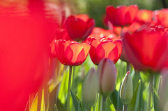 Red Tulips in Garden Royalty Free Stock Photography