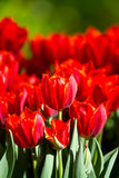 Red tulips in the garden Royalty Free Stock Photography