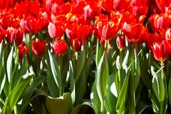Red tulips in the garden Stock Image
