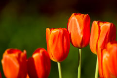 Red tulips in the garden Stock Photography