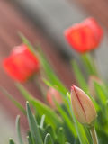 Red Tulips in a Garden Royalty Free Stock Photos