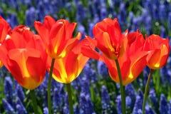 Red tulips in a garden stock photos