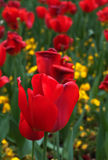 Red tulips-4 Stock Images