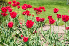 Red Tulips. In the garden stock photography