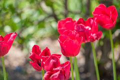 Red Tulips. In the garden royalty free stock photo