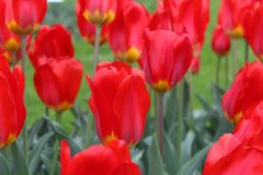 Red tulips in garden stock image
