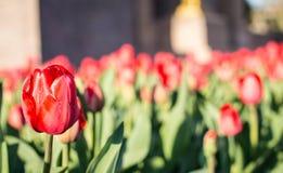 Red Tulips Garden Stock Photos