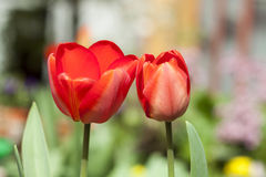 Red tulips in the garden Stock Photo