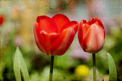 Red tulips in the garden Stock Images