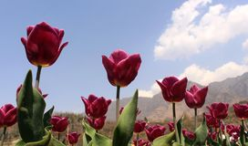 Red tulips on blue sky background royalty free stock images