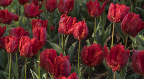 Red tulips. Garden close-up view Stock Photos