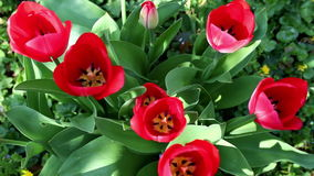 Red tulips in  garden filmed from above. Red tulips in the garden filmed from above stock video