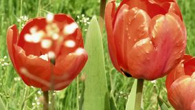 Red tulips in the garden flowerbed in the wind stock video footage