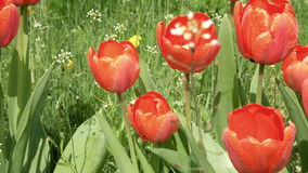 Red tulips in the garden flowerbed in the wind. Red tulips in the garden flowerbed swaying in the wind. Closeup shot. Nature sunny summer and spring concept. 4K stock footage