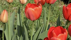 Red tulips in the garden flowerbed in the wind stock footage