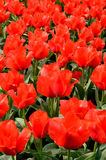 Red tulips in the garden. Group of red tulips from Keukenhof garden Stock Photos
