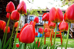 Red tulips in the garden with a house in the background Stock Photography