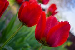 Red tulips in the garden. Photo for postcard beauty decoration. Red tulips in the garden.Tulips spring flower. Photo for postcard beauty decoration stock images