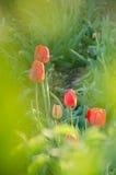 Red tulips in garden Stock Images