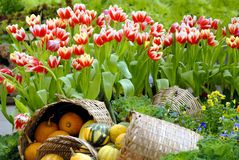 Red tulips in garden with pumpkins in bamboo basket Stock Photos