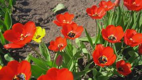 Red tulips in the garden. Top view stock footage