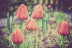 Red Tulips in the Garden Retro Royalty Free Stock Image