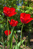 Red tulips in a garden Royalty Free Stock Photo