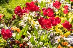 Red Tulips Garden Stock Image